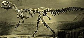 Skelettrekonstruktion von Piatnitzkysaurus, ein mitteljurassischer Tetanure aus Südamerika
