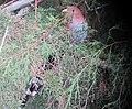 Piaya cayana Cuco ardilla común Squirrel Cuckoo (6252557462).jpg