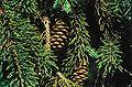 Picea glauca densata cones.jpg