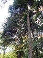 Picea orientalis 01.JPG