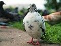 Pidgeons - Spotted 01.jpg