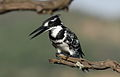 Pied Kingfisher, Ceryle rudis at Pilanesberg National Park, South Africa (15803696070).jpg