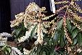 Pieris japonica Scarlet OHara 2zz.jpg
