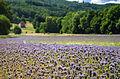 Pieszyce - pola lawendowe.jpg