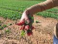 PikiWiki Israel 20408 Agriculture in Israel.JPG
