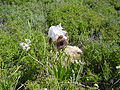 PikiWiki Israel 42166 Iris Bismarkia.jpg