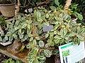 Pilea cadierei - Copenhagen Botanical Garden - DSC07398.JPG