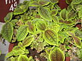 Pilea involucrata-HRS-yercaud-salem-India.JPG