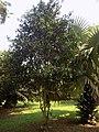 Pimenta Racemosa - Arbre 2.jpg