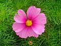 Pink cosmos 03481.jpg