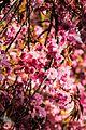 Pink flowers in the park.jpg