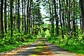 Pinus Wonogiri.jpg