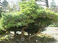 Pinus mugo turra.JPG