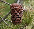 Pinus nelsonii (Nelson's Pinyon) - cone - Flickr - S. Rae.jpg