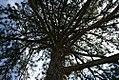 Pinus nigra nigra 1zz.jpg