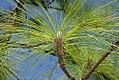 Pinus palustris 7zz.jpg
