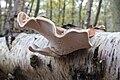 Piptoporus betulinus - Birch Polypore.JPG