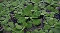 Pistia stratiotes in Kew Gardens.jpg