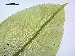Plagiomnium elatum (d, 145032-474544) 0807.JPG