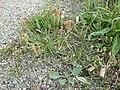 Plantago coronopus sl59.jpg