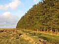 Plantation southeast of Carrawbrough - geograph.org.uk - 1260705.jpg