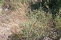 Plants in Ardeche8.JPG