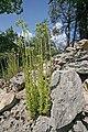 Plants in Gorges du Tarn4.JPG