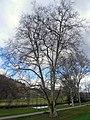 Platane in Bad Kissingen, 1.jpg
