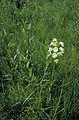 Platanthera leucophaea FWS 8252.jpg
