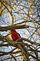 Platycercus elegans -Australia -perching in tree-8a.jpg