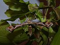 Platyptilia gonodactyla - Triangle plume (39382286490).jpg