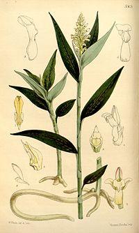 Platythelys maculata (as Physurus maculatus) - Curtis' 88 (Ser. 3 no. 18) pl. 5305 (1862).jpg