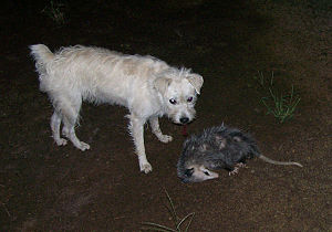 "Virginia opossum - When injured or threatened, the Virginia opossum is well known for attempting to fake death or ""play possum"", as seen in this photo."