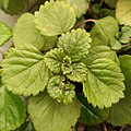 Plectranthus verticillatus (Family Lamiaceae) - leaves.jpg