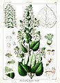 Plectranthus wightii Govindoo.jpg
