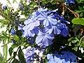Plumbago auriculata Flower Closeup TorreLaMata.jpg