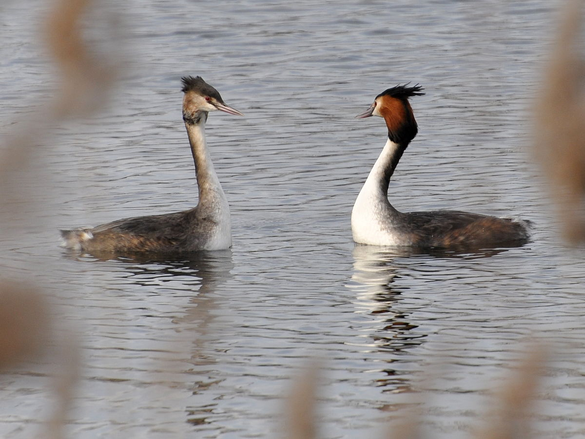 Courtship in animals - Simple English Wikipedia, the free