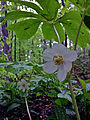 Podophyllum peltatum - Mayapple.jpg