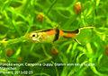 Poecilia wingei Campoma male 019 20130223.jpg