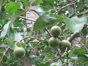 300px-Poison_Nut_Tree_-_%E0%B4%95%E0%B4%BE%E0%B4%9E%E0%B5%8D%E0%B4%9E%E0%B4%BF%E0%B4%B0%E0%B4%82_05.JPG