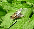 Pollenia sp. Calliphoridae. Cluster -fly - Flickr - gailhampshire (1).jpg