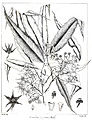 Polyalthia longifolia Govindoo.jpg