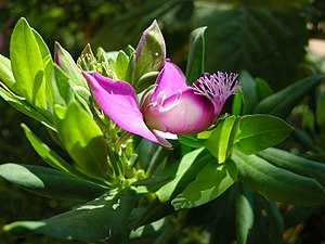 Polygala - Polygala myrtifolia