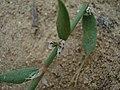 Polygonum oxyspermum subsp. raii stem (06).jpg