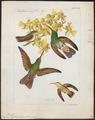 Polytmus beryllinus - 1820-1860 - Print - Iconographia Zoologica - Special Collections University of Amsterdam - UBA01 IZ19100191.tif