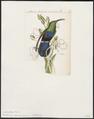 Polytmus holosericeus - 1820-1860 - Print - Iconographia Zoologica - Special Collections University of Amsterdam - UBA01 IZ19100139.tif