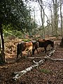 Ponies in Berry Wood, New Forest - geograph.org.uk - 110838.jpg