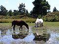 Ponies in a pond.jpg