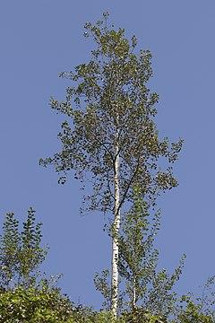 Populus tremula - Eurasian Aspen, Giresun 2016 01-2.jpg