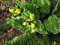 Portulaca molokiniensis (5187824763).jpg